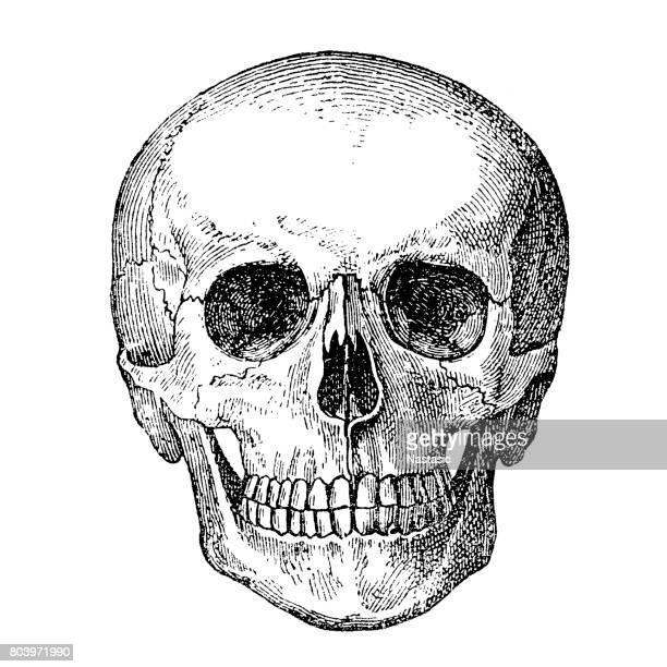 ilustraciones, imágenes clip art, dibujos animados e iconos de stock de cráneo humano  - monoimpresión