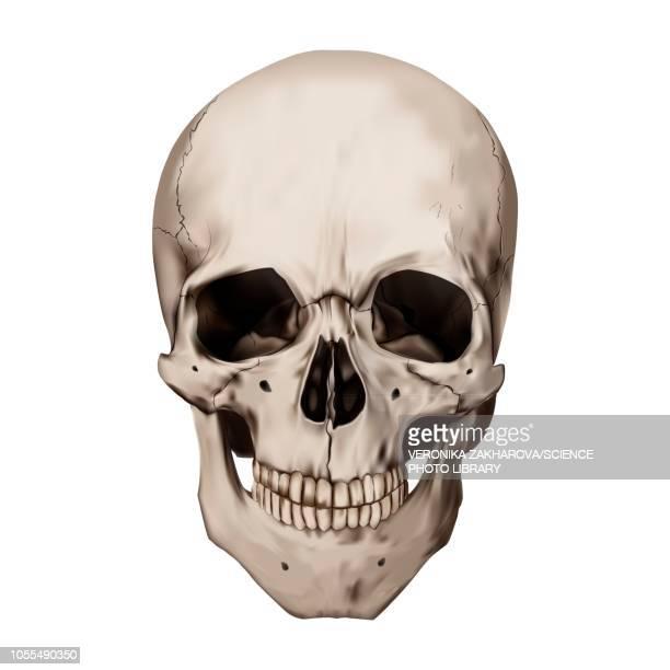 ilustrações de stock, clip art, desenhos animados e ícones de human skull, illustration - caveira