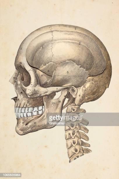 human skull illustration - neurosurgery stock illustrations, clip art, cartoons, & icons