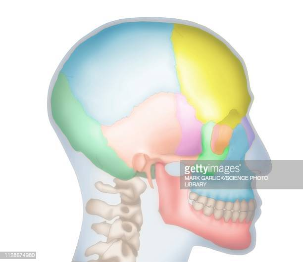 Frontal Bone Stock Illustrations And Cartoons