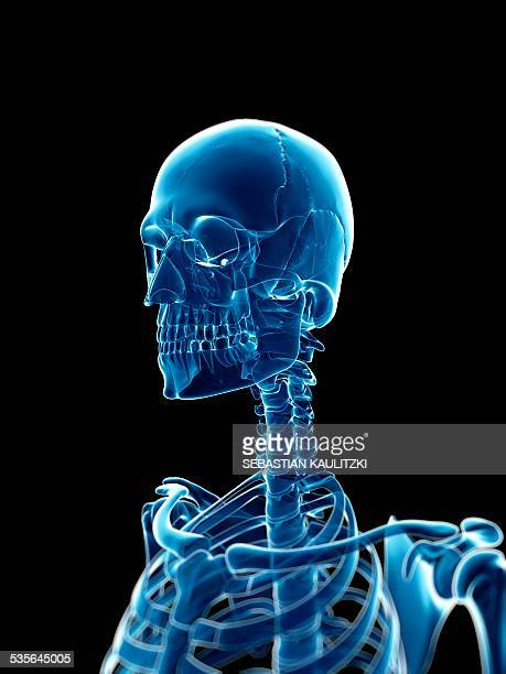 3d Skull Anatomy Stock Photos and Pictures | Getty Images