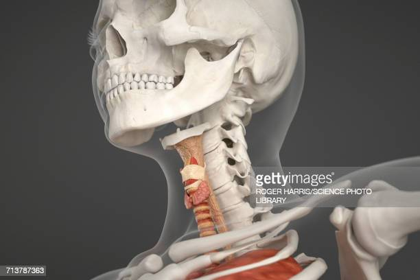 illustrazioni stock, clip art, cartoni animati e icone di tendenza di human skull, neck and larynx - human face