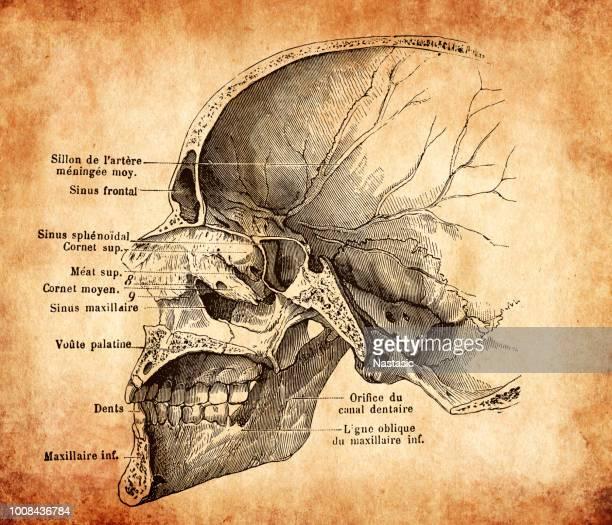 Human skull section