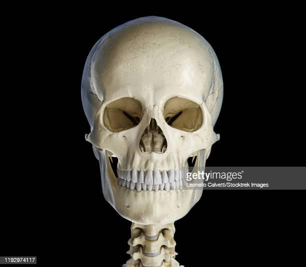 human skull viewed from the front, on black background. - menschlicher zahn stock-grafiken, -clipart, -cartoons und -symbole