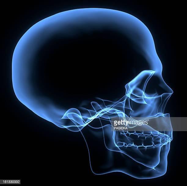 ilustrações, clipart, desenhos animados e ícones de human skull, x-ray artwork - raio x