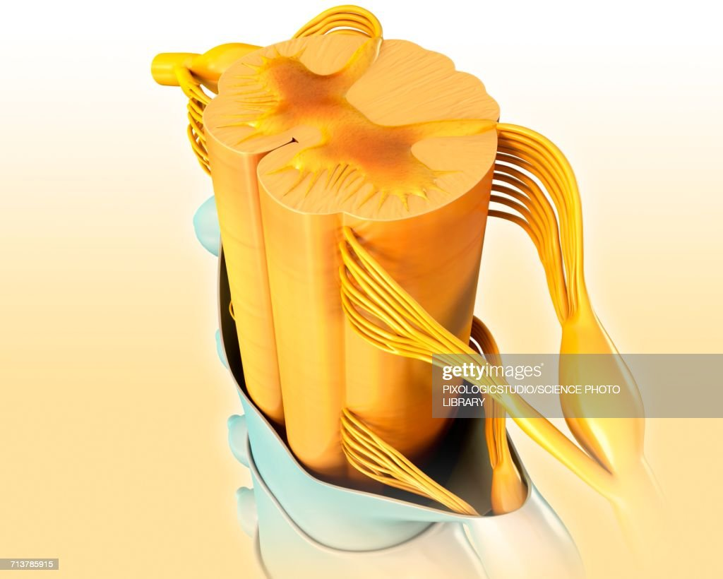 Human Spinal Cord Anatomy Illustration Stock Illustration Getty Images