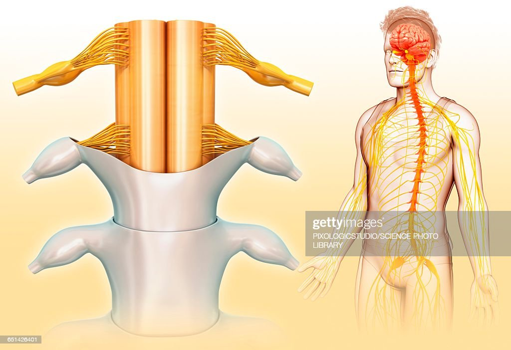 Human Spinal Cord Illustration Stock Illustration Getty Images