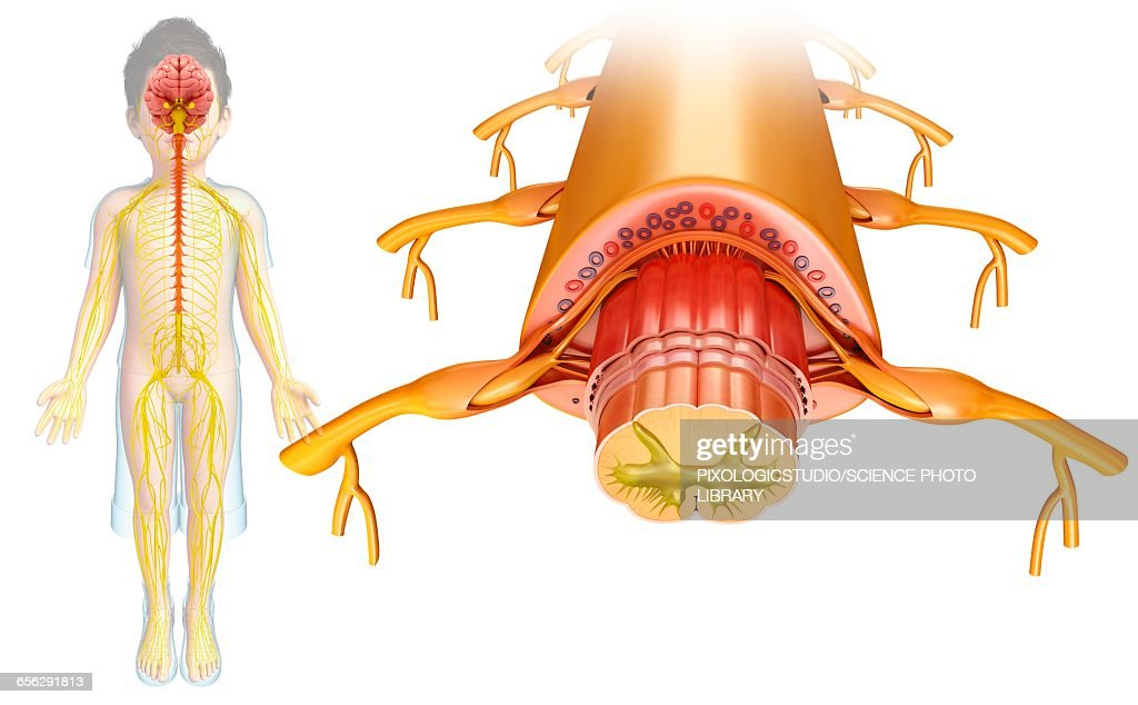 Human Spinal Cord Illustration Stock Illustration | Getty Images