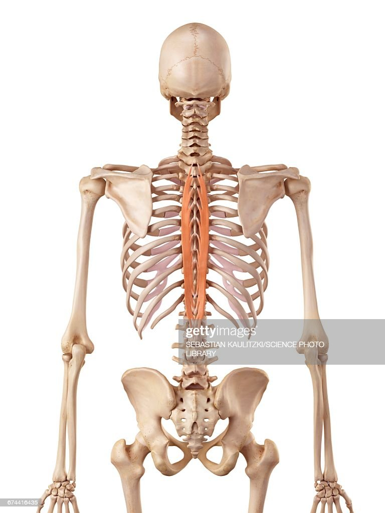 Human Spinal Muscle Stock Illustration Getty Images