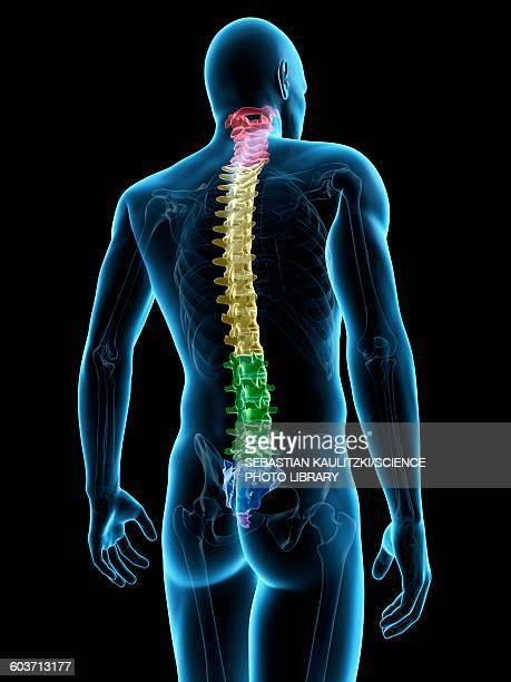 human spine, illustration - human spine stock illustrations, clip art, cartoons, & icons