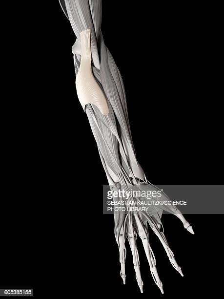 Human tendons of elbow, illustration