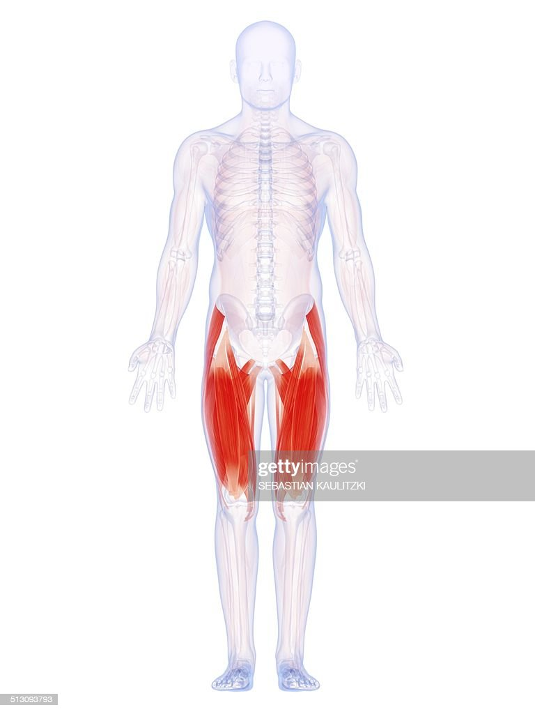 Human Thigh Muscles Artwork Stock Illustration Getty Images