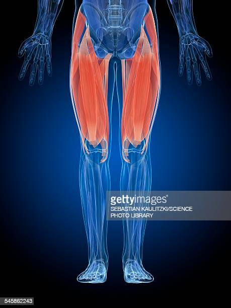 ilustrações, clipart, desenhos animados e ícones de human thigh muscles, illustration - perna humana