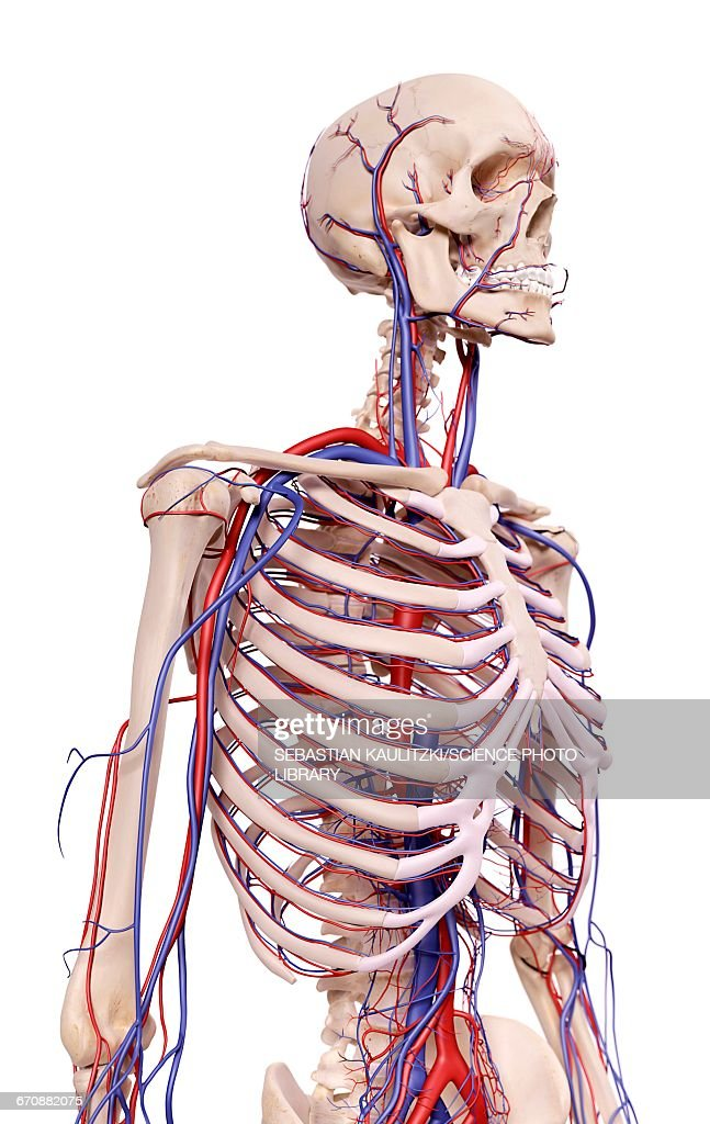 Human Thoracic Anatomy Stock Illustration Getty Images