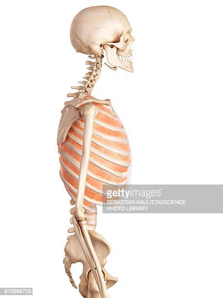 Thoracic Muscles Stock Illustrations And Cartoons Getty Images