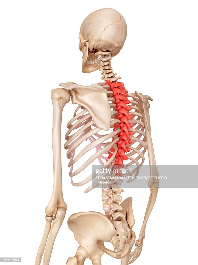 Human Thoracic Spine Stock Illustration Getty Images
