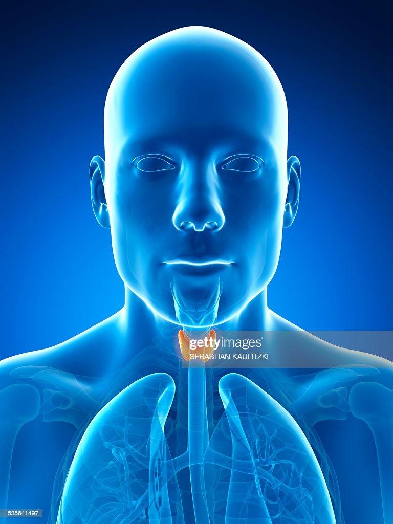 Human Thyroid Gland Illustration Stock Illustration Getty Images