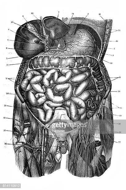 human torso - small intestine stock illustrations