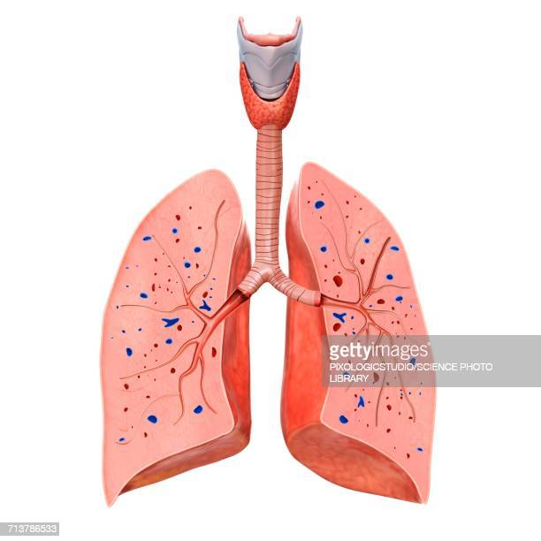human trachea and lungs, illustration - human lung stock illustrations, clip art, cartoons, & icons
