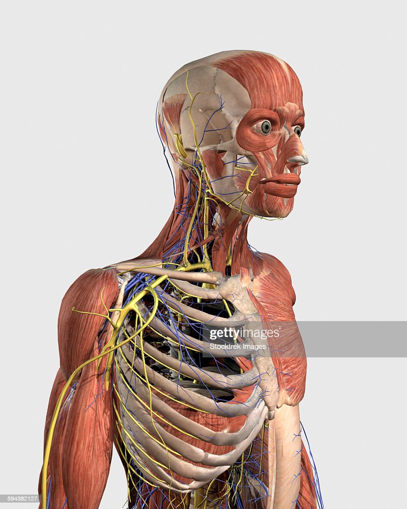 Human Upper Body Showing Muscle Parts Axial Skeleton Veins And