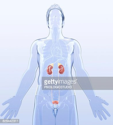 Human Urinary System Artwork stock illustration - Getty Images