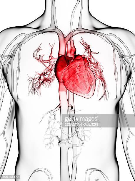illustrations, cliparts, dessins animés et icônes de human vascular system, artwork - organe interne humain