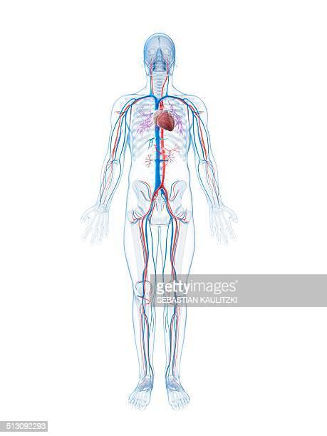 ilustraciones, imágenes clip art, dibujos animados e iconos de stock de human vascular system, artwork - sistema circulatorio