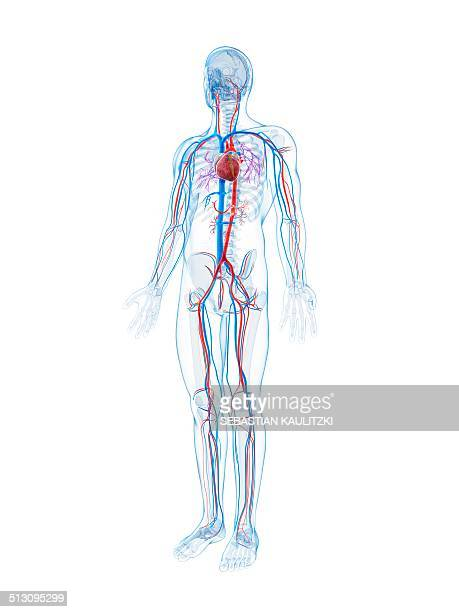 human vascular system, artwork - blood vessel stock illustrations, clip art, cartoons, & icons