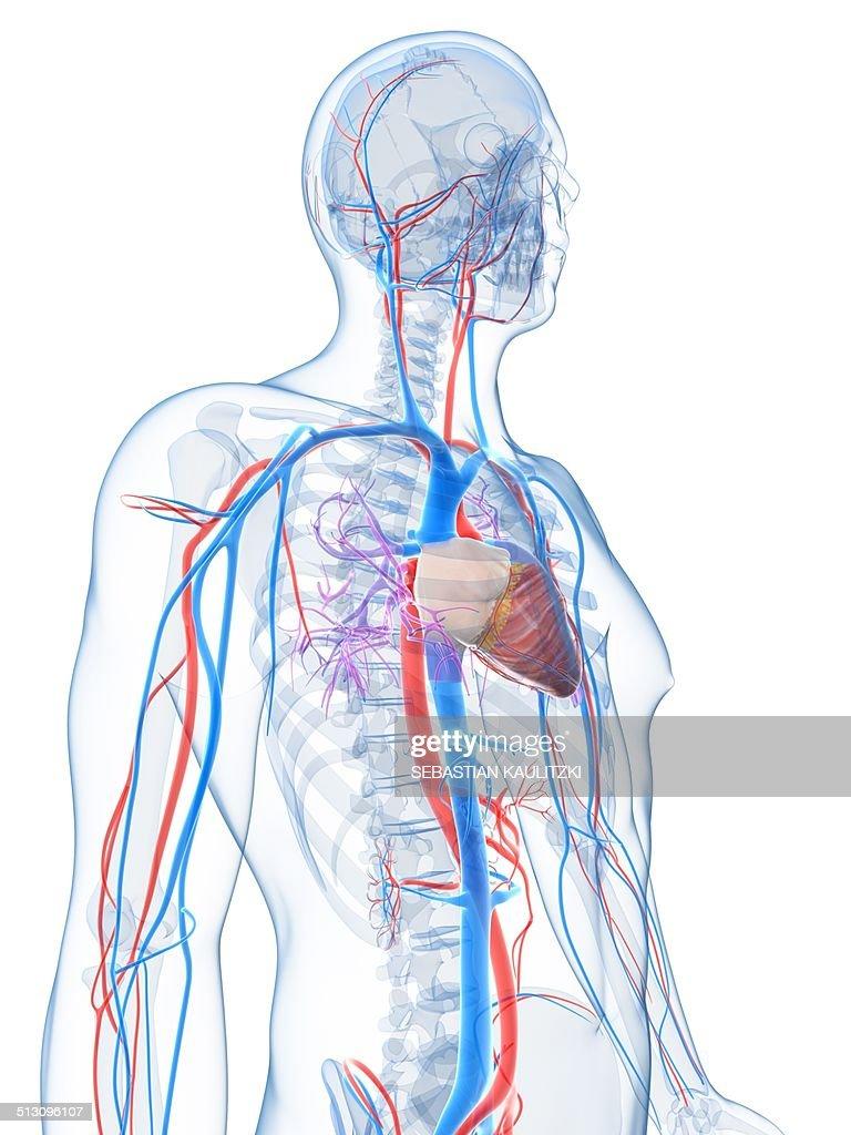 Human Vascular System Artwork Stock Illustration Getty Images