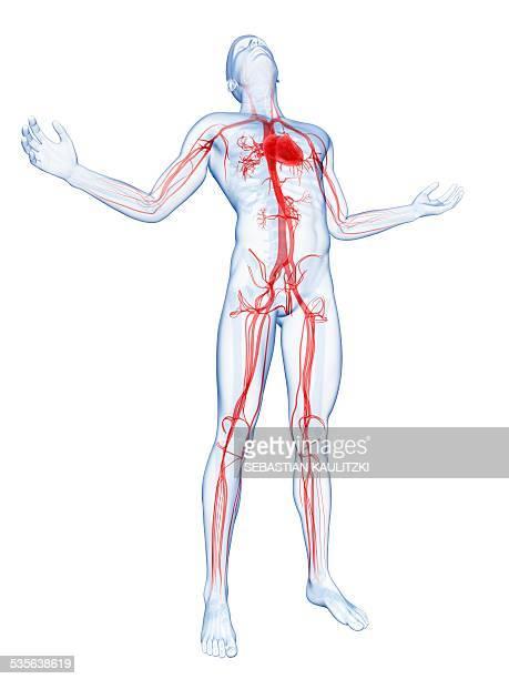 ilustraciones, imágenes clip art, dibujos animados e iconos de stock de human vascular system, artwork - producto artístico
