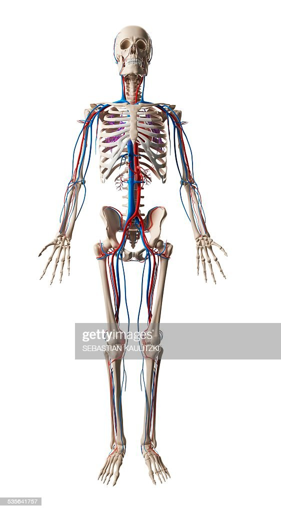 Human Vascular System Illustration Stock Illustration Getty Images