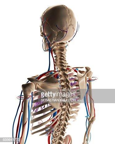 Human Vascular System Illustration Stock Illustration | Getty Images