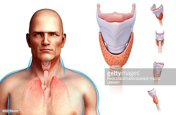 ilustraciones, imágenes clip art, dibujos animados e iconos de stock de human vocal cords, illustration - cuerdas vocales