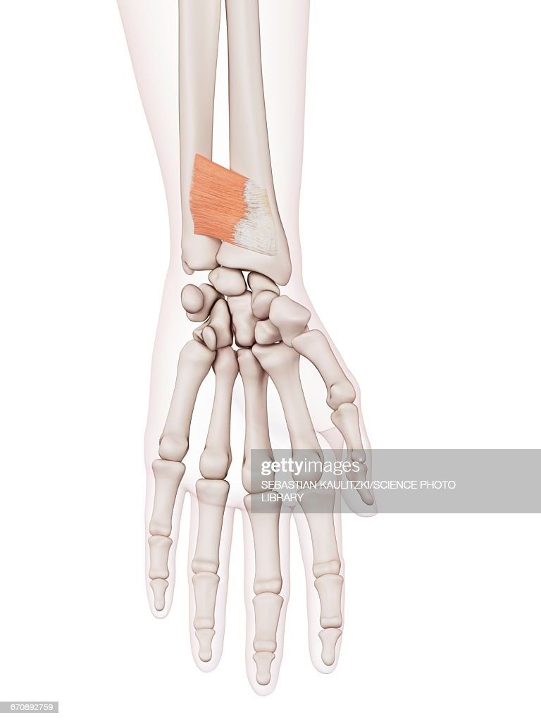 Human Wrist Muscles Stock Illustration Getty Images