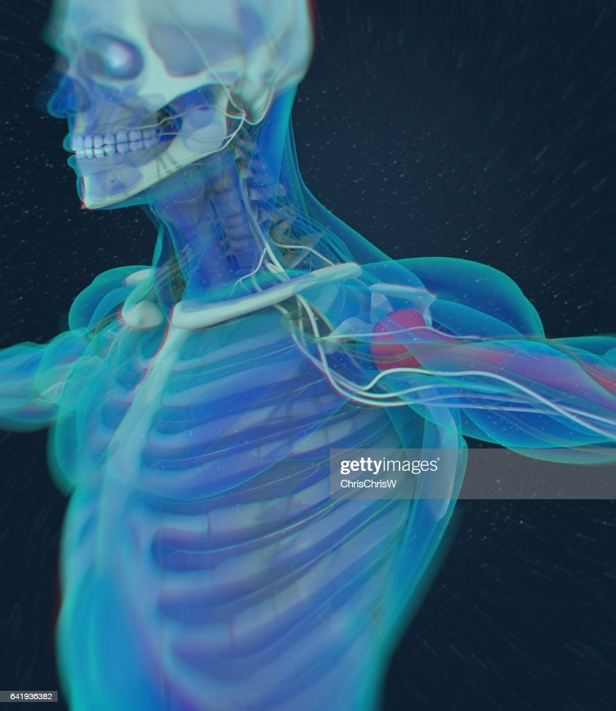 Humerus Bone Human Anatomy Skeletal System 3d Illustration Stock ...