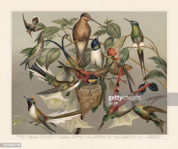 hummingbirds (trochilinae), chromolithograph, published in 1897 - lithograph stock illustrations