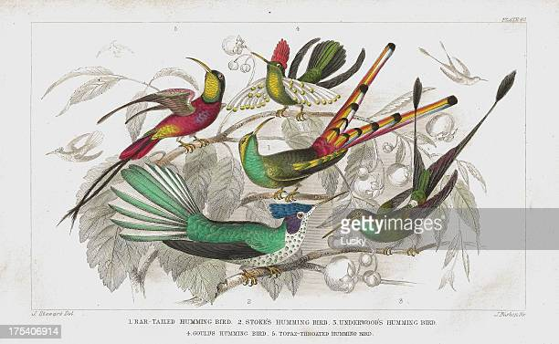 Hummingbirds old 1852 litho print