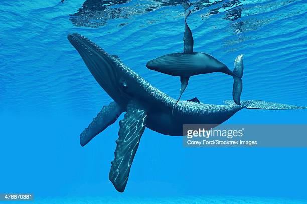 a humpback whale calf swims around its mother in a graceful ocean dance. - humpback whale stock illustrations, clip art, cartoons, & icons