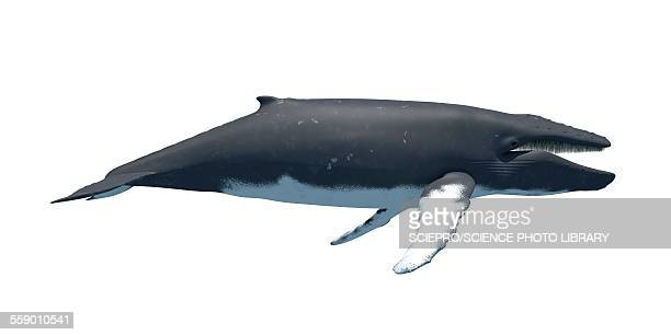 humpback whale, illustration - wal stock-grafiken, -clipart, -cartoons und -symbole