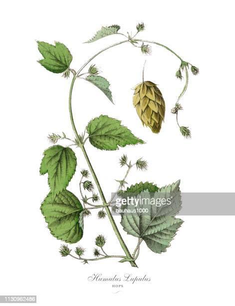 humulus lupulus, hops plants, victorian botanical illustration - botany stock illustrations