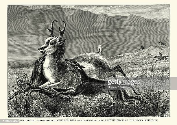 Hunting antelope with greyhounds, Rocky Mountains