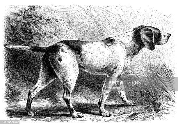 illustrations, cliparts, dessins animés et icônes de chien de chasse pointer - chasseur