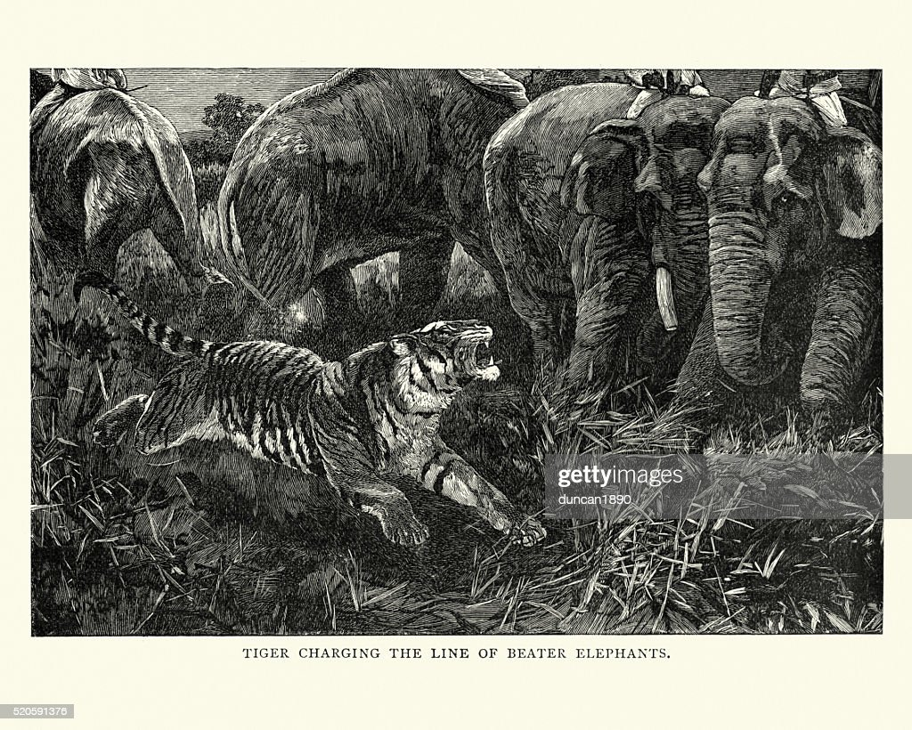 Hunting Tigers - Tiger charging the elephants : stock illustration