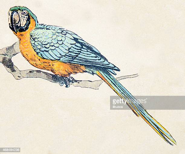 hyacinth macaw, birds animals antique ilustration - parrot stock illustrations, clip art, cartoons, & icons