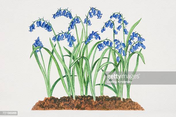 Hyacinthoides non-scripta, Bluebells growing in soil.