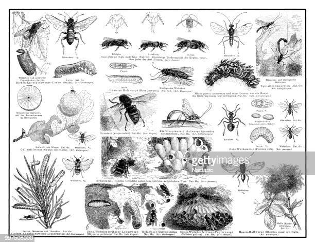 hymenoptera ,a large order of insects that includes the bees, wasps, ants, and sawflies. these insects have four transparent wings and the females typically have a sting - worker bee stock illustrations