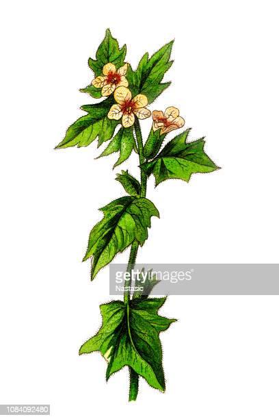 ilustrações, clipart, desenhos animados e ícones de hyoscyamus niger, comumente conhecido como meimendro, meimendro negro ou pretinha fedorenta - níger