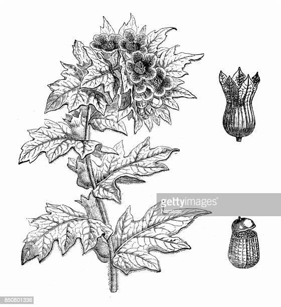 ilustrações, clipart, desenhos animados e ícones de hyoscyamus niger (meimendro) - níger