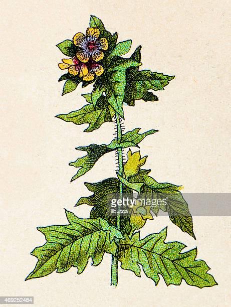 ilustrações, clipart, desenhos animados e ícones de hyoscyamus níger (henbane), plantas antigas ilustração - níger