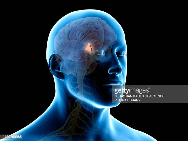 hypothalamus brain, illustration - human body part stock illustrations